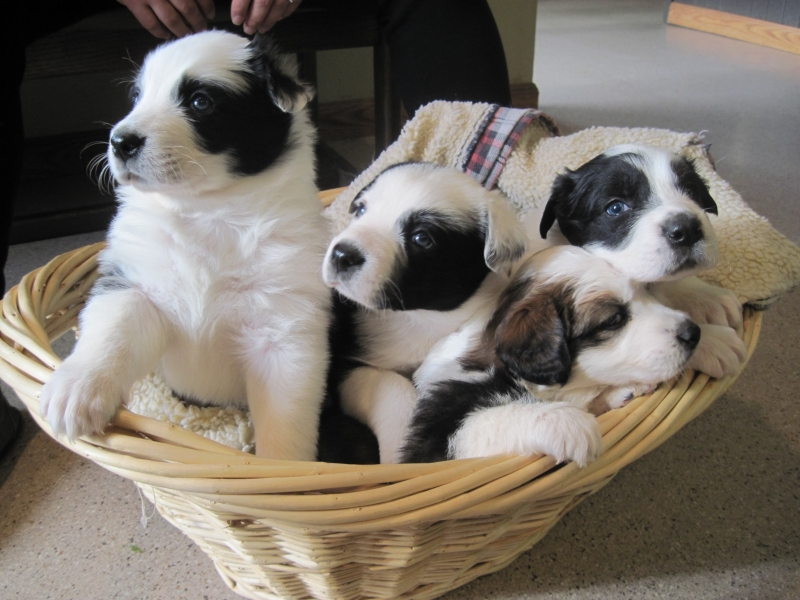 puppies-in basket-1